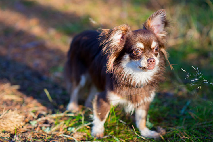 Chihuahua standing on field
