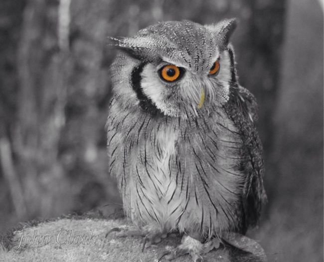 EyeEm Selects Bird One Animal Animal Themes Animals In The Wild Animal Wildlife Close-up Focus On Foreground No People Owl Nature Day Beak Looking At Camera Outdoors Portrait Perching