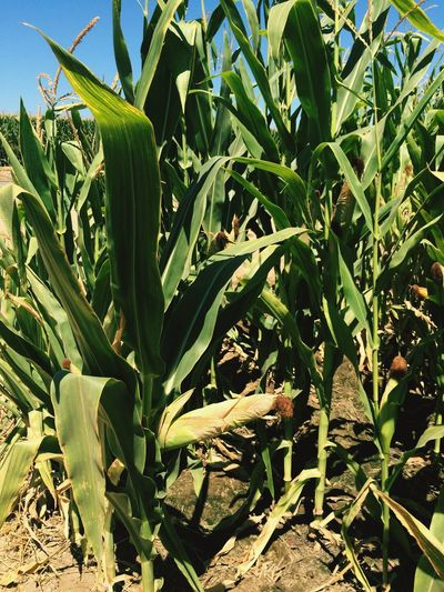 Growth Green Color Plant Nature Field Leaf No People Day Close-up Cereal Plant Outdoors Corn Stalks Corn Crop  Agriculture Freshness Sky California Crop California Agriculture Corn Field Corn Crop
