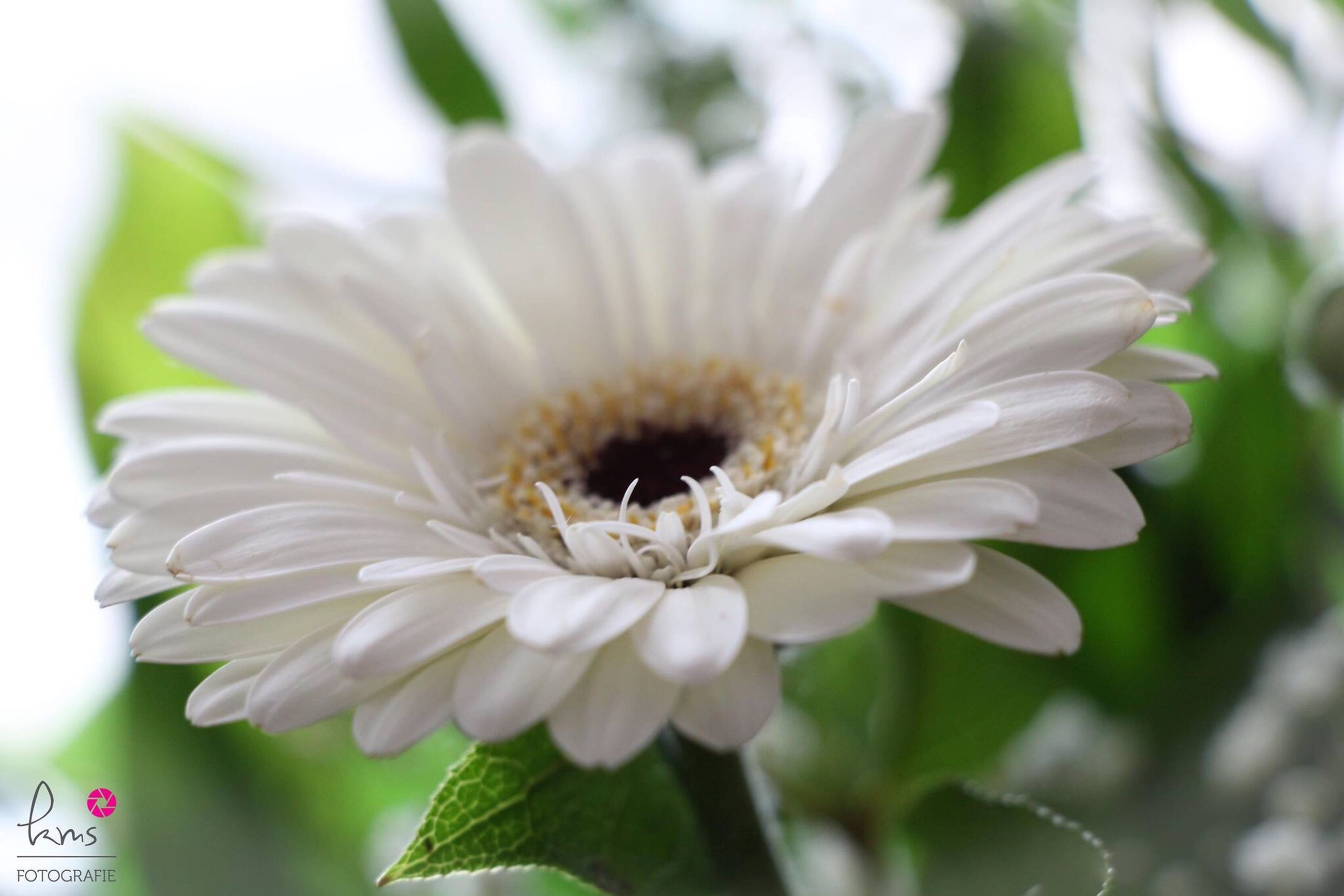 flower, petal, freshness, flower head, white color, fragility, growth, close-up, focus on foreground, beauty in nature, pollen, blooming, nature, stamen, plant, white, single flower, in bloom, day, outdoors