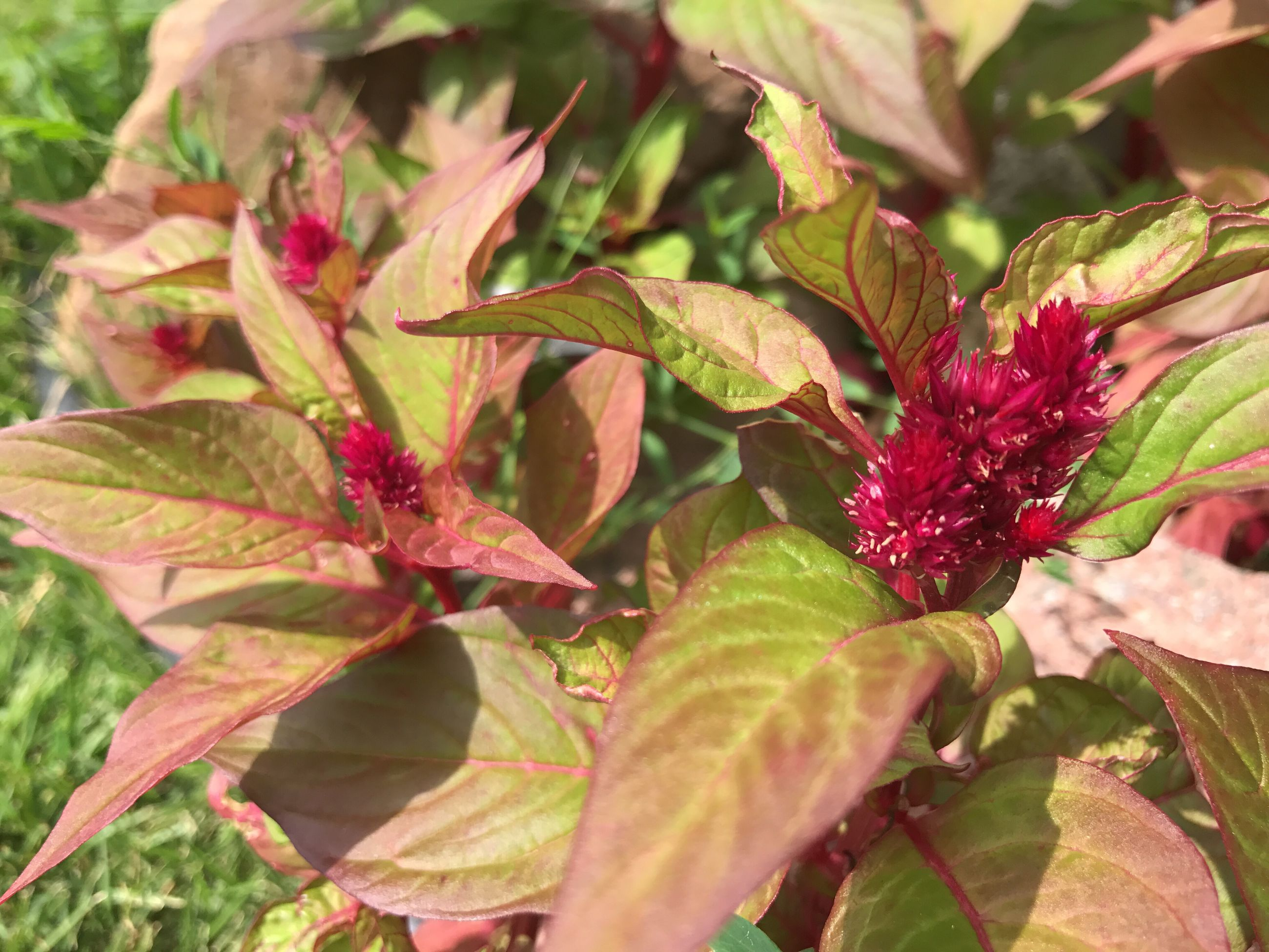 growth, leaf, red, flower, plant, nature, no people, outdoors, close-up, foliage, day, freshness, beauty in nature