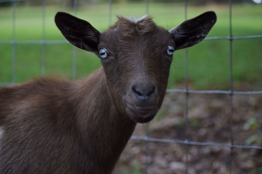 Holly ! Check This Out Hanging Out Hello World Cheese! Relaxing Enjoying Life Love Outdoor Photography Pet Outdoors Animal Farmland FarmAnimal Goatslife Furry Goats Farm Life