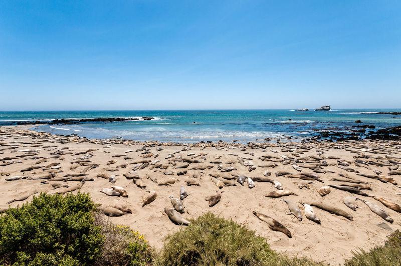 Animal Beach Beach Life Beach Photography Beachphotography Elephant Seals Landscape Landscape_Collection Landscape_photography Landscapes With WhiteWall Ocean Piedras Blancas Seals Sleeping USA