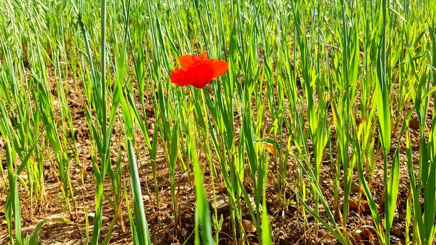 Flower Poppy Red Field Grass Close-up Plant Green Color