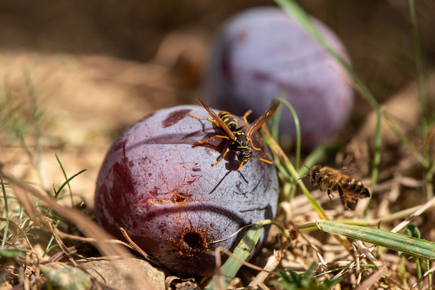 Conflict of interest... Animal Animal Wildlife Animal Themes Close-up Nature Invertebrate Insect Selective Focus Field Outdoors Food Fruit Healthy Eating Sunlight Action Insects  Honey Bee Bee Apis Mellifera Wasp Paper Wasp Polistes Dominula Plum Conflict Windfall