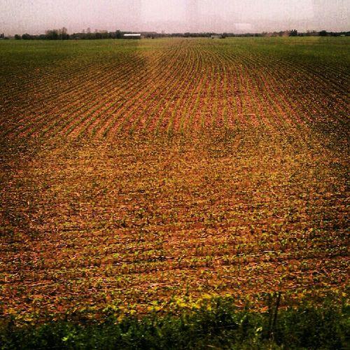 Corn Field!