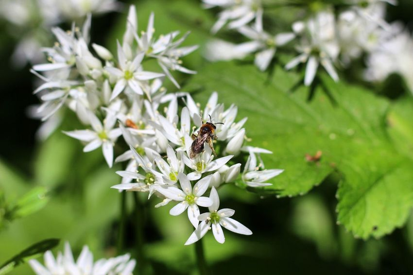 Insect Flower One Animal Animal Themes Animals In The Wild Nature Fragility Bee Growth Petal Pollination Wildlife White Color Plant Freshness Focus On Foreground Day Beauty In Nature Flower Head No People Canon CanonEOS600D Canon600D Canoneos Canonphotography