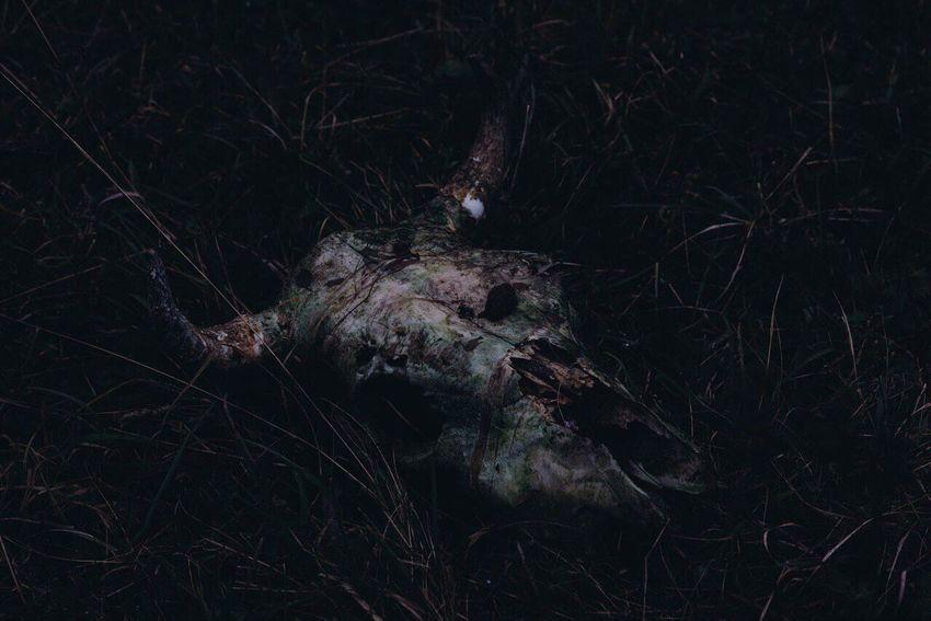 Skull Night Nature No People Dead Tree