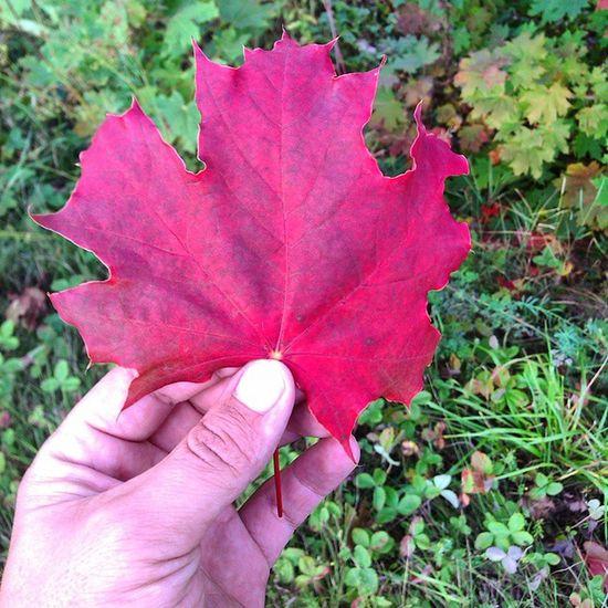осень клён листик Autumn