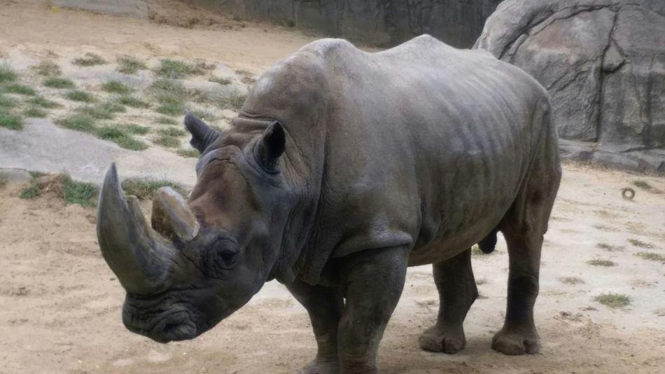 Toledo zoo Rhinos
