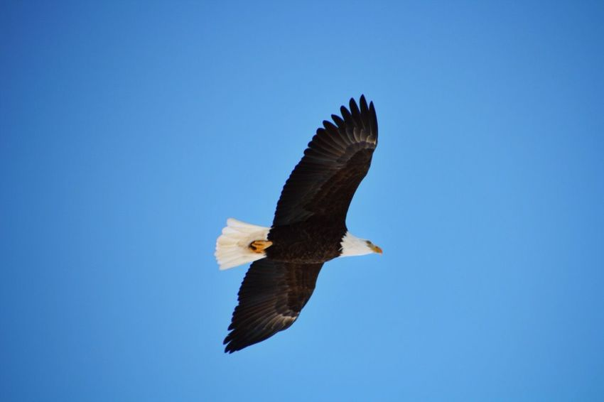 Eagle Bald Eagle Flight Soar