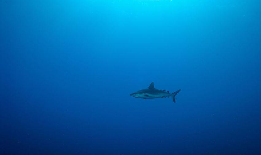 Underwater UnderSea Sea Animal Wildlife Marine Fish Red Sea Reef Coral Reef Sea Life Shark Grey Reef Shark