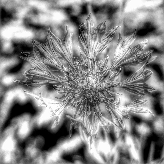 Blackandwhite Black & White Monochrome Cornflower HDR Hdr_Collection Art Beauty In Nature Close-up Day Flower Flowering Plant Focus On Foreground Fragility Freshness Growth Inflorescence Nature No People Outdoors Petal Plant Vulnerability