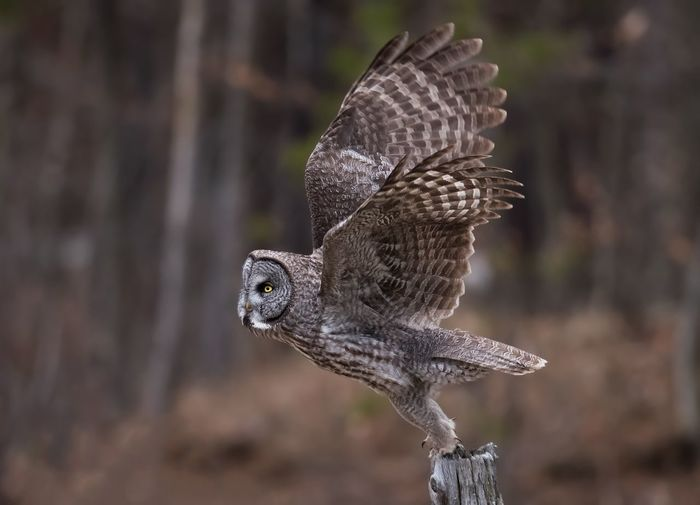 Owl Taking Off On Wooden Post Against Trees