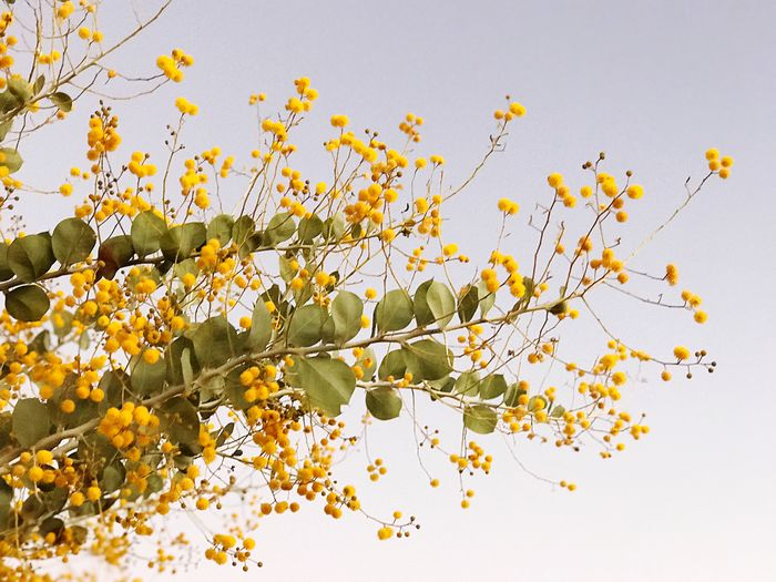 Low angle view of yellow flowering plant against clear sky