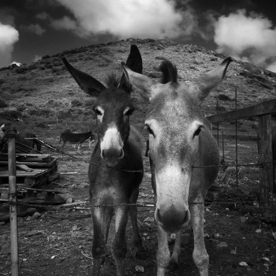 My new friends Donkeys at Sintmaarten IPhoneography Mobileart
