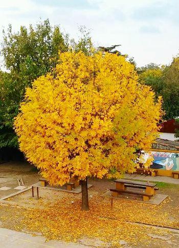 Otoño 🍁 Arboles , Naturaleza Arbol De Invierno Hojas De Otoño Arbol Dorado Naturaleza Naturaleza Urbana