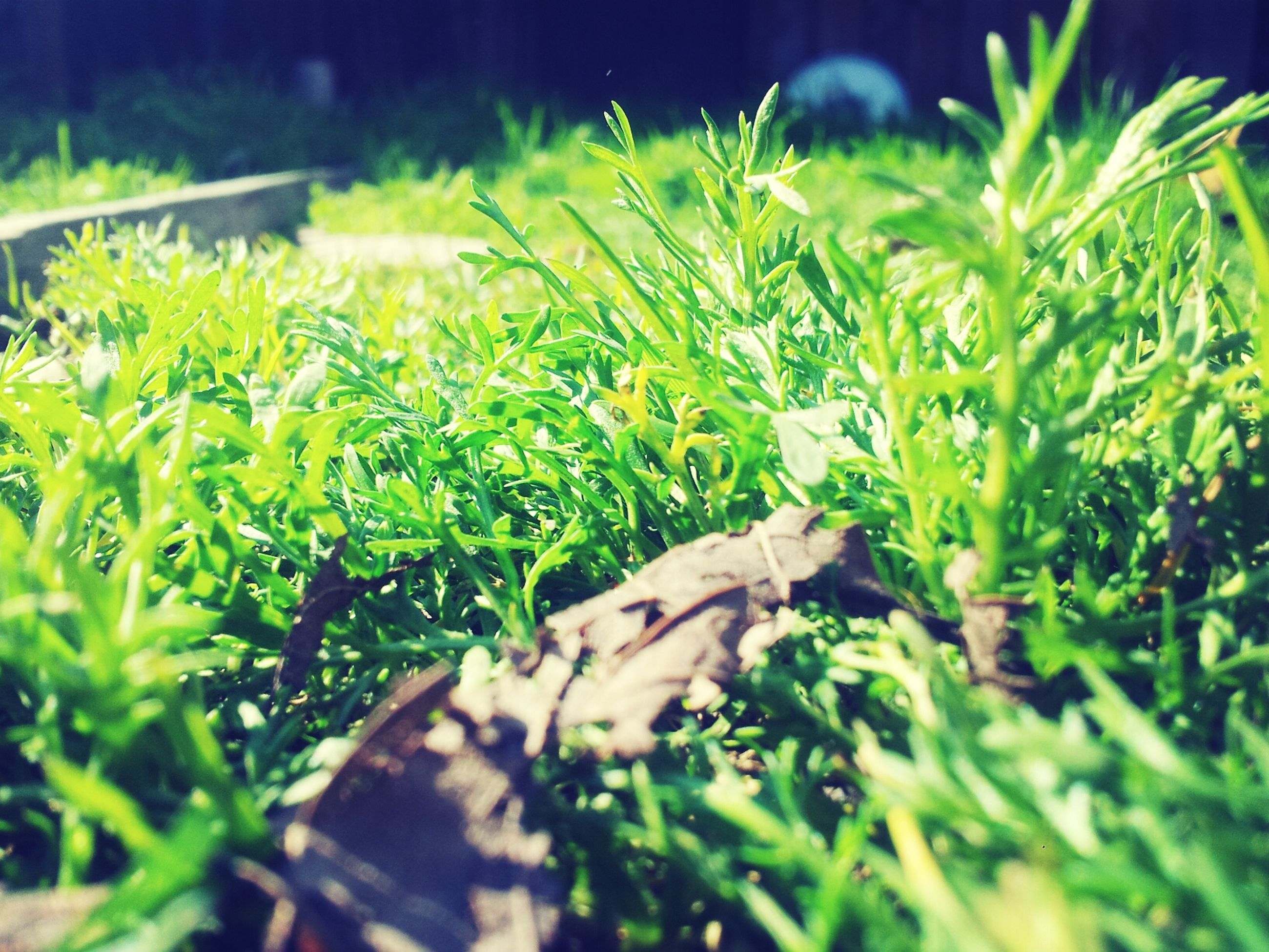 growth, green color, plant, grass, selective focus, nature, field, close-up, tranquility, green, beauty in nature, growing, focus on foreground, leaf, outdoors, sunlight, day, surface level, no people, focus on background