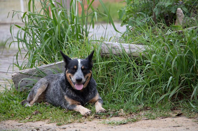 Cão One Animal Animal Animal Themes Domestic Animals Domestic Pets Mammal Canine Dog Vertebrate Plant Nature Sticking Out Tongue Day Facial Expression Land Portrait Field Looking At Camera
