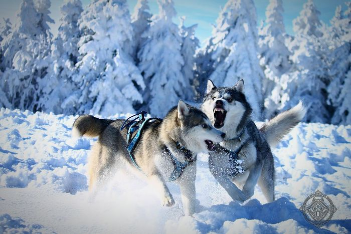 Siberian Husky Mountain Husky Snow ❄ Nature Animal Mushing Dog Huskies First Eyeem Photo