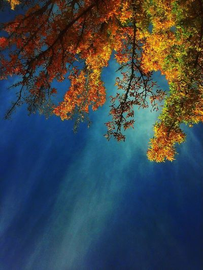 Capture Tomorrow Beauty In Nature Autumn Outdoors Sky Growth Branch Tranquil Scene Nature Low Angle View Change Scenics - Nature Tree Backgrounds Mendocino County Seasons