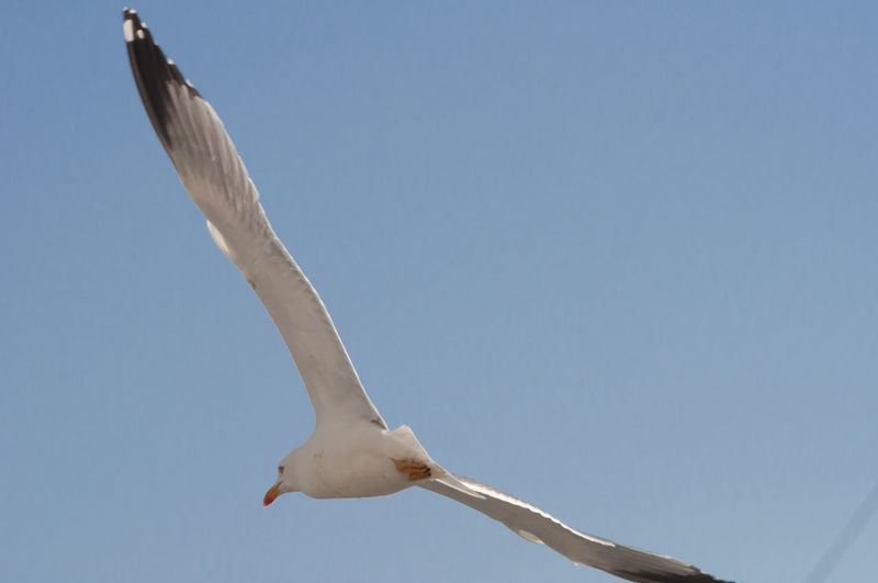 Seagull Flying Against Clear Sky
