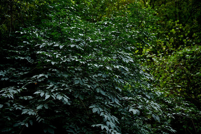 A7RII Sigma Day Foliage Forest Green Growth Lazio Monterano Nature No People Outdoors Sigma 24-105 Art Sony Tree Tuscia