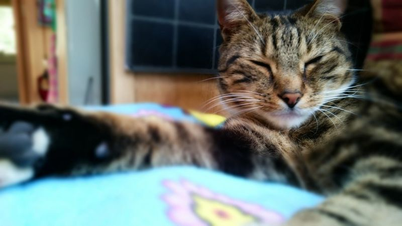 Marley Cats Cats Of EyeEm Tom Cat Tabby Cat Beautiful Cat Relaxed Cat Lazy Cat Chilled Out Sleepy Cat