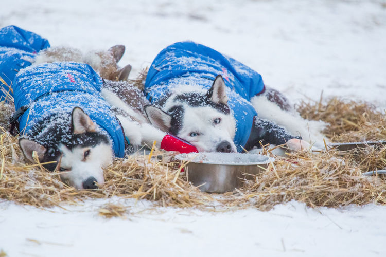Beautiful alaskan husky dogs resting during a long distance sled dog race in Norway. Dogs in snow. Dog Husky Sled Dog Animal Race Teamwork Winter Sport Sled Dog Race