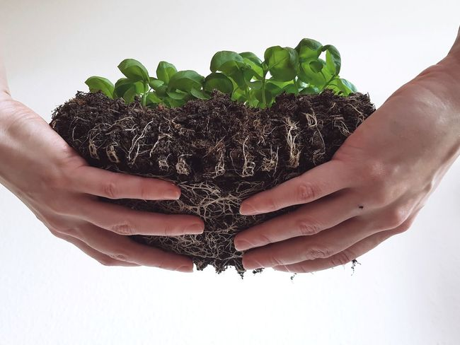 Human Hand Human Body Part Holding Hand Healthy Eating Healthy Lifestyle Close-up Agriculture Freshness Handful Holding Plant Nature Mothernature Mother Nature EyeEmNewHere Green Hands Life Roots Plants Plants 🌱 Basil Dirt Plant Samsungphotography