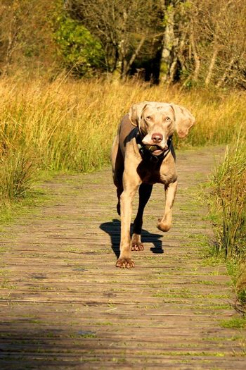 Weimaraner on the move Dog Fitness Animal Animal Themes Canine Dog Dog Love Dog Walking Days Doggie Domestic Domestic Animals Fun With Pets Grass Land Mammal Motion Nature No People One Animal Outdoors Pets Plant Pooch Trotting Weimaraner Weimaranerlove