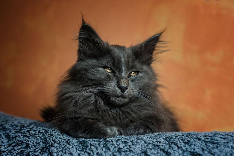 Photo de chat. (non, mais je précise, c'est important..,). Pets Portrait Feline Domestic Cat Looking At Camera Alertness Black Color Front View Animal Hair Ear