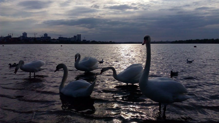 I love swans Selected For Premium They Are So Cute! Swans Swans On The Lake Swans Of Eyeem Scenics Togetherness Animals In The Wild Swimming Large Group Of Animals Floating On Water Lake Bird Water Bird Outdoors Animal Themes Tranquility Beauty In Nature Animal Wildlife Sunset Nature White Color