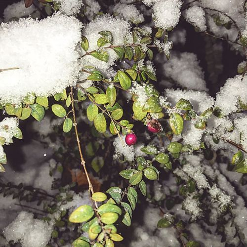 Winter Nature Snow Cold Fresh Outdoors Close-up Plant Tree Green Color First Eyeem Photo