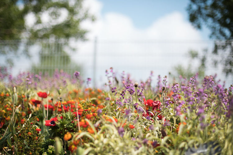 colorful summer Beauty In Nature Close-up Day Field Flower Flower Head Flowerbed Flowering Plant Fragility Freshness Garden Green Color Growth Land Nature No People Outdoors Plant Purple Selective Focus Sky Tranquility Vulnerability