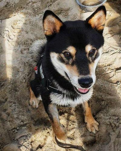 Cutie 💜 Beach Perranporth Beach Shiba Inu Dogs Of EyeEm Puppy Pets Portrait Dog Sand Looking At Camera Close-up