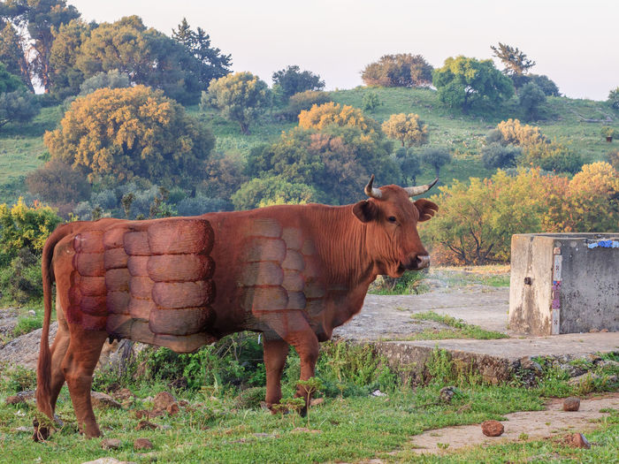 This cow has