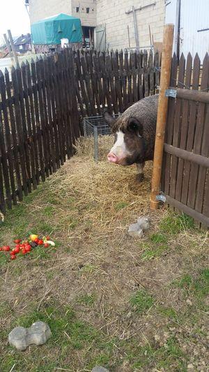 Animal Themes Big Pig One Animal Outdoor Life Outdoor Photography Outdoors Outside Outside Photography Pets Pig Pig Face 2016 EyeEm Awards