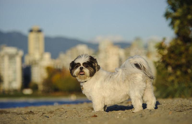 Shih Tzu dog Animal Themes Canine Dog Little Dog Natural Light No People Outdoors Shih Tzu