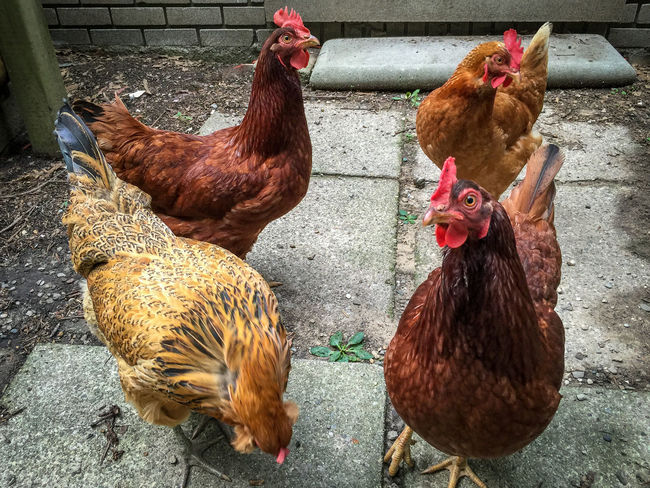 Meet the girls Animal Crest Bird Chicken - Bird Chickens Domestic Animals Farm Animals Female Animal Hen Livestock Poultry