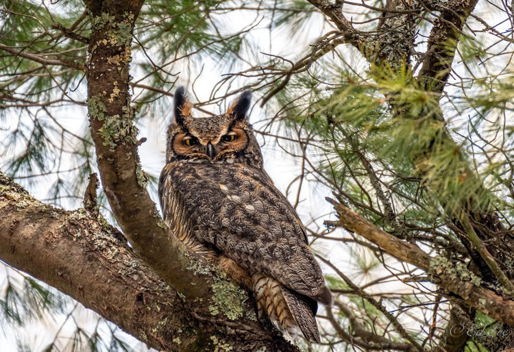 Great horned owl papa