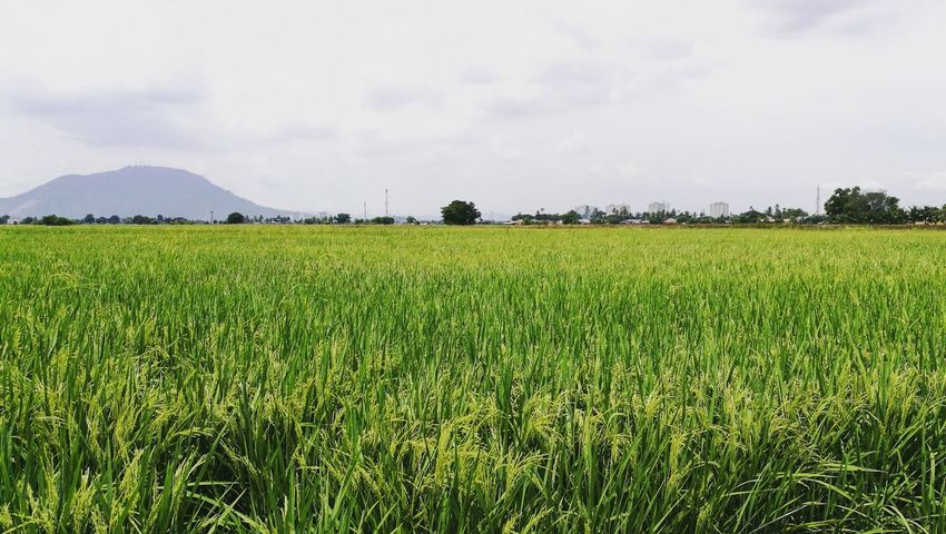 Paddy Paddy Field Paddysday Check This Out Taking Photos