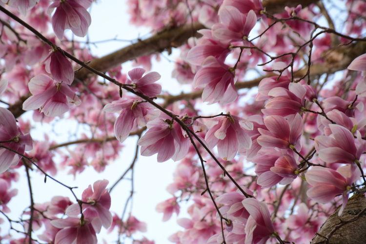 Low angle view of magnolia tree