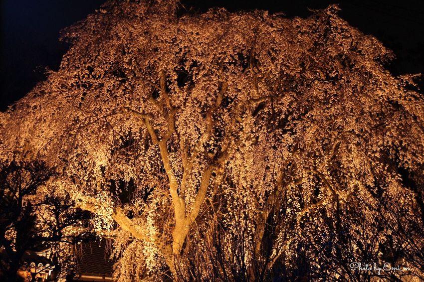 大きな枝垂れ桜🌸こんな間近にあったとは… EyeEm Nature Lover Enjoying Life Canon Eoskissx7i Relaxing Okayama Tsuyama 3月 枝垂れ桜 桜 ライトアップ