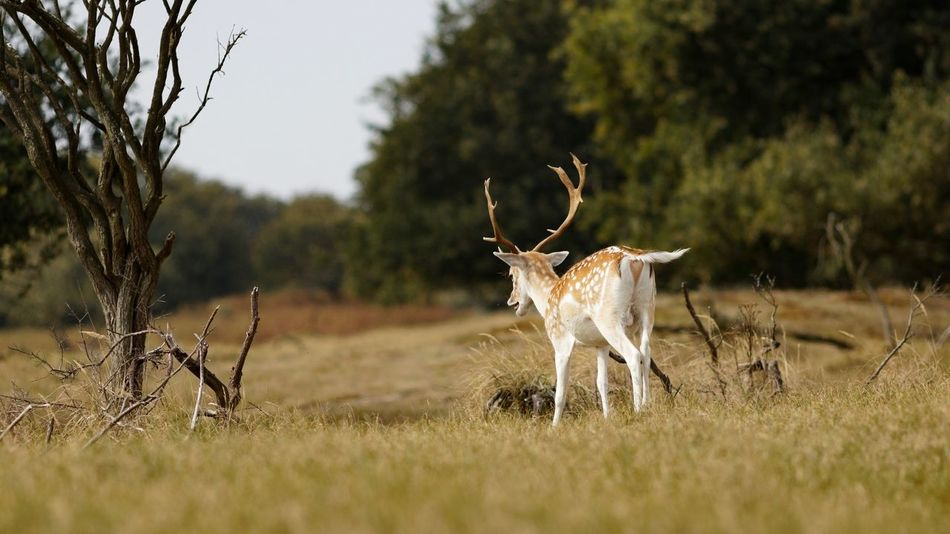 On The Lookout Dunes Of Holland Stag Plant Tree Mammal Field Animal Themes Animal Land Animal Wildlife Animals In The Wild Antler Deer