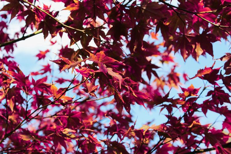 Magenta-ish Autumn Autumn Colors Fall Beauty Nature Autumn Beauty In Nature Branch Close-up Day Fall Leaf Leaves Low Angle View Magenta Maple Maple Leaf Maple Tree Nature No People Outdoors Red Scenics Sky Tranquility Tree Autumn Mood