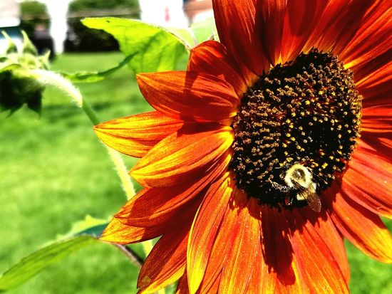 Bubble bee hard at work on a sunflower Flower Flower Head Close-up Plant Nature In Bloom Pollen Single Flower Beauty In Nature Vibrant Color Growth