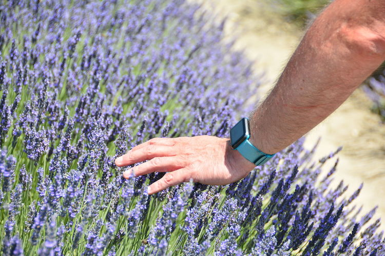 Cropped Hand Of Man Touching Lavenders Growing In Field