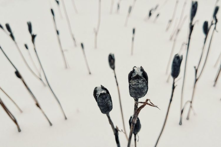 Husks in the snow. Nature Plant Close-up No People Outdoors Snow ❄ Wintertime Winter Winter_collection Simple Beauty Minimalism Flowers Dead Flowers Black And White Friday
