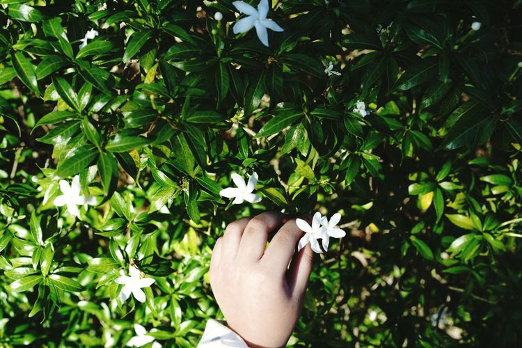 hand childen pick the white flower Childhood Child Flower Plant Best EyeEm Shot Nature Human Hand Tree Flower Leaf Holding Women Personal Perspective Human Finger Close-up Plant Nail Polish Fingernail Nail Art Manicure Pedicure Palm Apple Blossom Painting Fingernails Blooming Tiny Finger